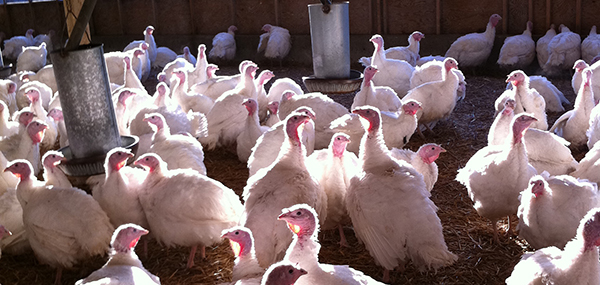 Crowshall Veterinary Services LLP Turkeys Image